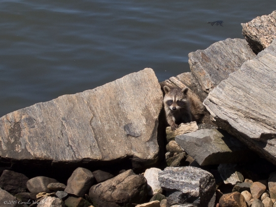 A young raccoon at the water's edge on Randall's Island, New York City.
